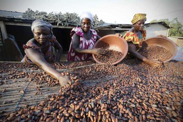 Women from a local cocoa farmers association called BLAYEYA spread cocoa beans to dry in Djangobo, Niable in eastern Ivory Coast, November 17, 2014. (Photo by Thierry Gouegnon/Reuters)