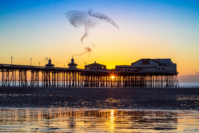 An amazing acrobatic display by the tens of thousands of Starlings looking to roost for the evening under the iron stanchions of Blackpool's famous north pier. (Photo by EnVogue Photo/Alamy Live News)