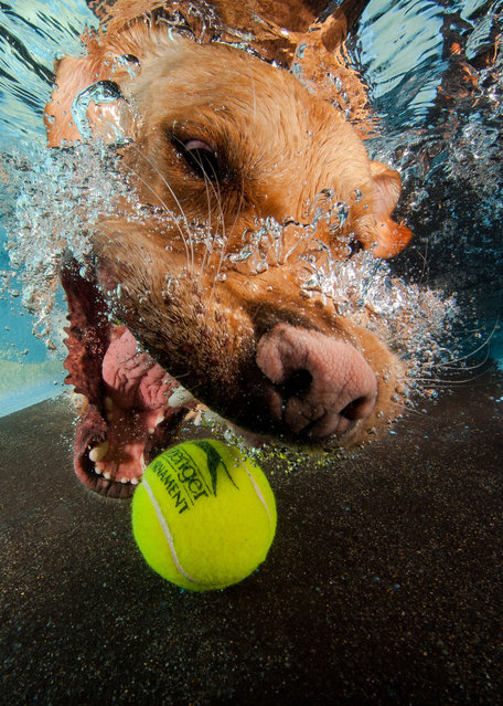 A Golden Labrador struggles to catch the submerged tennis ball. (Photo by Jonny Simpson-Lee/Caters News Agency)