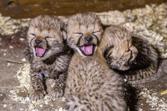In this picture provided by the Prague Zoo and taken on, Monday December 1, 2014, shows three of the newly born cheetah quadruplets yawning. The zoo says the four who have been born on November 21, 2014 have survived the most critical period after the birth and their mother, the three-year-old Savannah, is taking good care of them. (Photo by Petr Hamernik/AP Photo/Zoo Praha)
