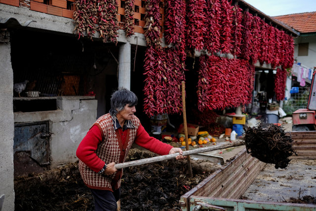 A woman works as bunches of paprika hang on the wall of a house to dry in the village of Donja Lakosnica, Serbia October 6, 2016. (Photo by Marko Djurica/Reuters)