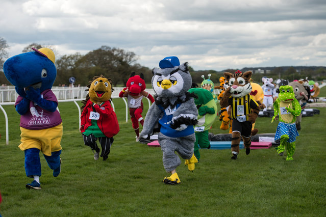 Runners dressed as mascots for various sports clubs, businesses and charities take part in the 13th annual Mascot Gold Cup at Wetherby Racecourse near Wetherby, northern England on April 29, 2018. The race, during which members of the public place bets on the winner, takes place over the racecourse's final furlong (approximately 200 metres) and features five small fences. (Photo by Oli Scarff/AFP Photo)