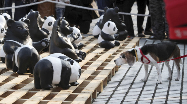 """A dog looks at the part of the 1,600 paper pandas, and 200 paper Taiwanese bears, created by French artist Paulo Grangeon, in front of the Chiang Kai-shek memorial Hall during the exhibition called """"Pandas on Tour"""" in Taipei, Taiwan, Saturday, March 15, 2014. (Photo by Chiang Ying-ying/AP Photo)"""