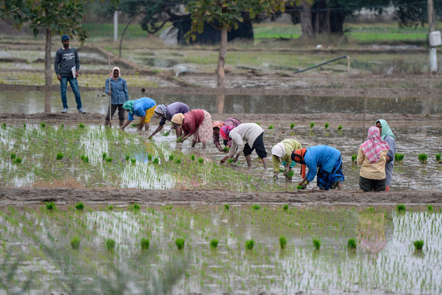 Labourers plant paddy saplings in a field in Medak district, some 60 km from Hyderabad on January 7, 2021. (Photo by Noah Seelam/AFP Photo)