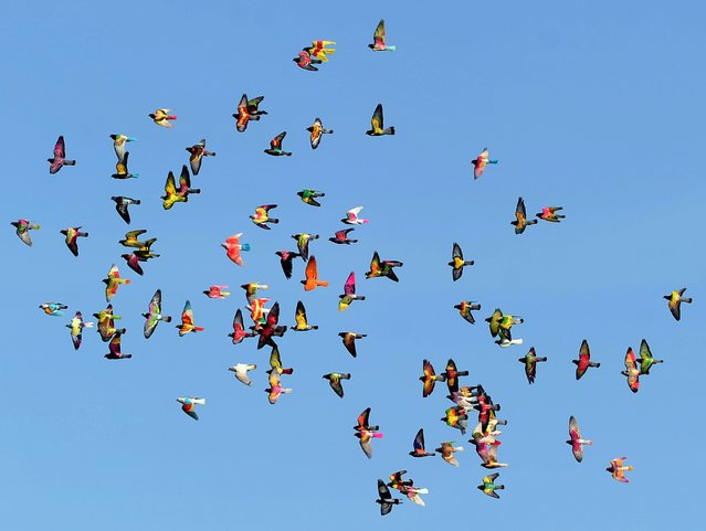 A flock of coloured pigeons fly during a pigeon-breeding competition in the southern Spanish village of Bollullos de la Mitacion, on January 27, 2015. During competition a single dove is chased by dozens of pigeon cocks resulting winner the male which courts the hen for longer. (Photo by Cristina Quicler/AFP Photo)