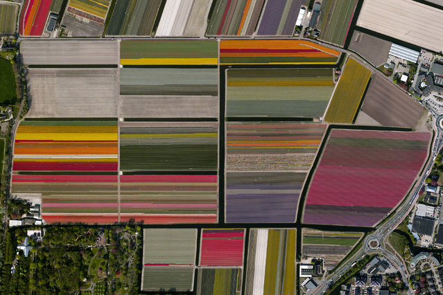 Tulip Fields, Lisse, Netherlands. (Photo by Benjamin Grant/Digital Globe/Caters News)