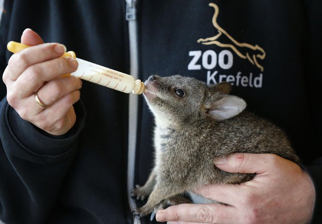 Male baby Kangaroo Norman gets milk from its substitute mother and zookeeper Yvonne Wicht at the Zoo in Krefeld, Germany, Friday, February 6, 2015. Norman was born in September and was expulsed by it's biological mother so that zoo keeper Wicht jumped into that role. The resettlement into it's family is planned for spring. (Photo by Frank Augstein/AP Photo)