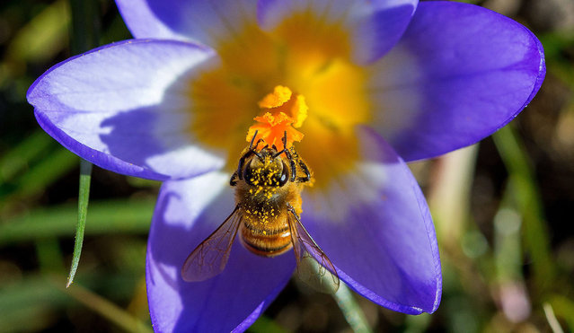 A busy bee collects pollen on a crocus as the first sites of spring start to appear, in Timmendorf, Germany, 09 March 2015. Sunshine and temperatures of abour 10 degrees Celcius were forecast in the region.  EPA/JENS BUETTNER