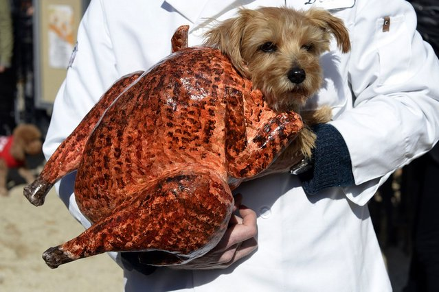 A dog dressed as a turkey participates in the Halloween Dog Parade in New York. (Photo by Timothy Clary/Getty Images)