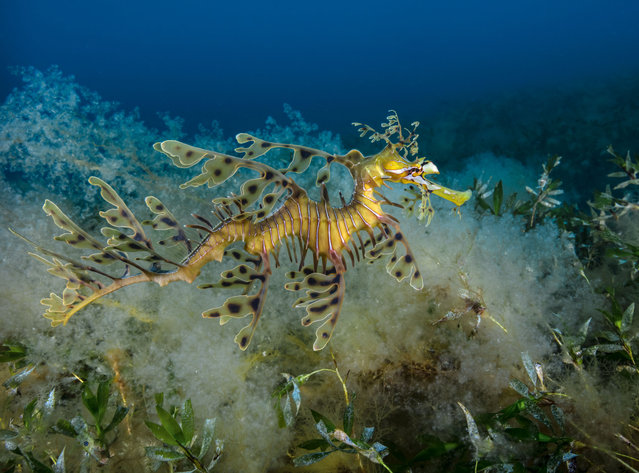 The spectacular, slow-moving leafy seadragon likes to camouflage itself around kelp-covered rocks and seagrass. It has leaf-shaped appendages over its entire body, blending in perfectly with its seaweed and kelp habitat. (Photo by Philip Hamilton/The Guardian)