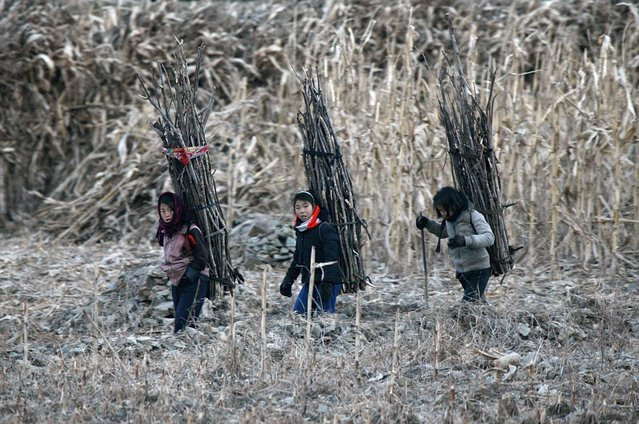 North Korean girls carry firewood on their backs as they walk on the banks of Yalu River, 62 miles from the North Korean town of Sinuiju, opposite the Chinese border city of Dandong, December 16, 2013. (Photo by Jacky Chen/Reuters)