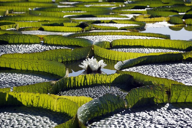 Hundreds of Victoria Cruziana plants float over the Salado river water in Piquete Cue, near Limpio, on Asuncion's outskirts, Paraguay, Sunday, January 7, 2018. This water lily that grows  up to 2 meters wide, was according to locals believed to be extinct in the area. (Photo by Jorge Saenz/AP Photo)