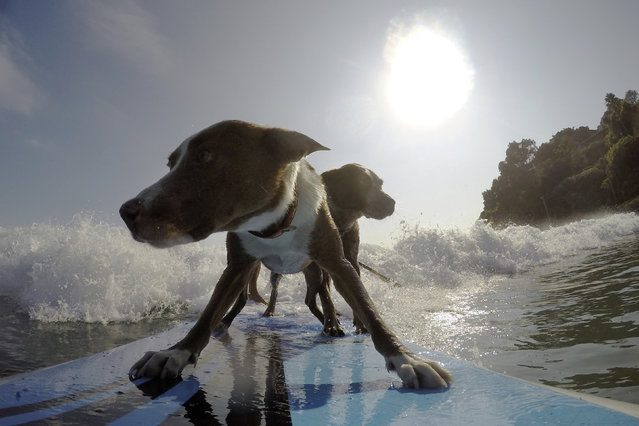 Rescued dogs Rama (Front) and Millie ride a wave with their owner, Australian dog trainer and former surfing champion Chris de Aboitiz (obscured) off Sydney's Palm Beach, February 18, 2016. (Photo by Jason Reed/Reuters)