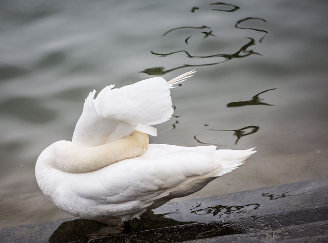 A swan sticks its head under its feathers on the banks of the river Rhine in Mainz, Germany, Wednesday, March 2 2016. (Photo by Frank Rumpenhorst/DPA via AP Photo)