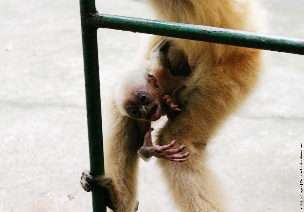 Newborn White-Cheeked Gibbon