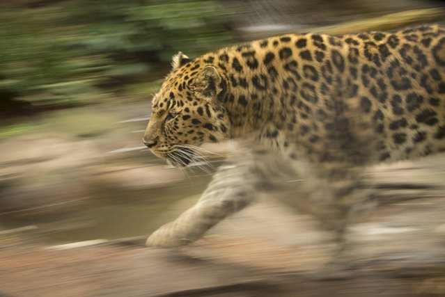 An endangered Amur leopard, which was euthanized on Tuesday due to kidney disease and old age, is seen at the Oregon Zoo in an undated handout photo provided by the zoo. (Photo by Michael Durham/Reuters/Oregon Zoo)