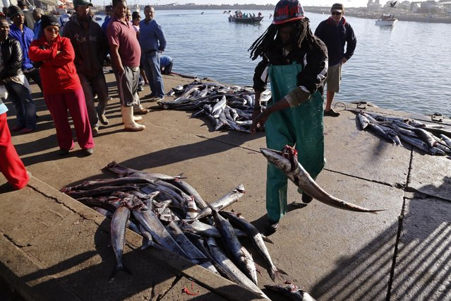 In this photo taken on Saturday, May 16, 2015, a man throws a Snoek fish after it was offloaded from a boat and before being sold to merchants in Lambert's Bay, South Africa. (Photo by Schalk van Zuydam/AP Photo)