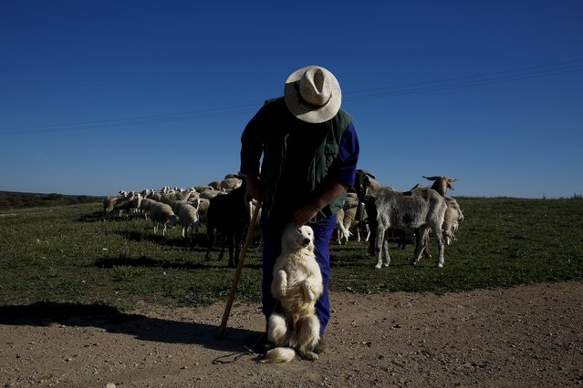 Angel Gutierrez Carrasco, 55, caresses his dog Paco as he tends to his flock of sheep by the dam of Penarroya, near Argamasilla de Alba, Spain, April 7, 2016. (Photo by Susana Vera/Reuters)
