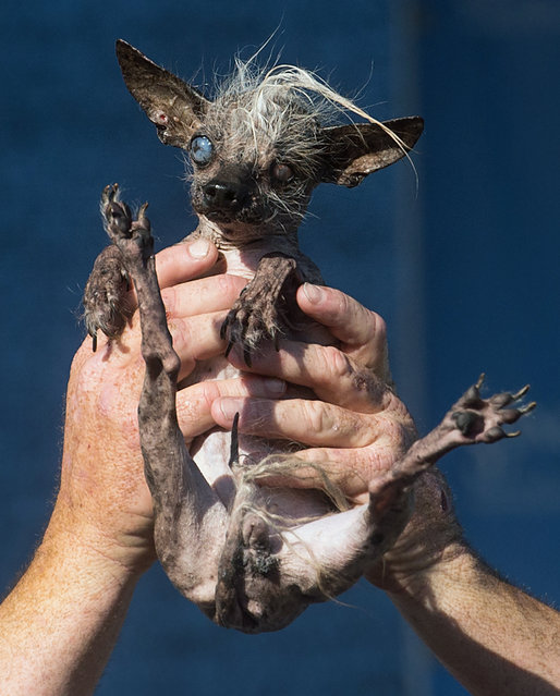 Sweepee Rambo, a 16-year-old Chinese Crested dog, competes in the World's Ugliest Dog Contest at the Sonoma-Marin Fair, Friday, June 26, 2015, in Petaluma, Calif. She won the runner-up award. (Photo by Noah Berger/AP Photo)