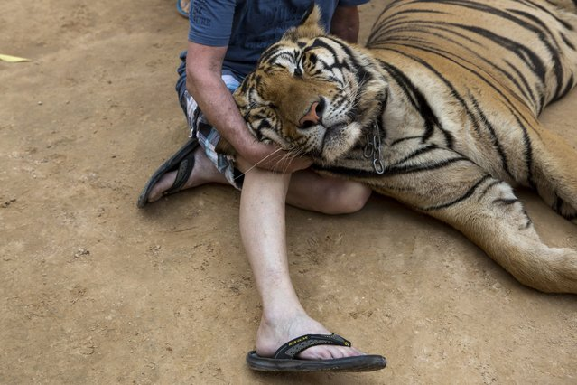 A visitor sits with a tiger's head in their lap at Tiger Temple, a Buddhist monastery where paying visitors can interact with young adult tigers, in Kanchanaburi, Thailand, March 16, 2016. (Photo by Amanda Mustard/The New York Times)