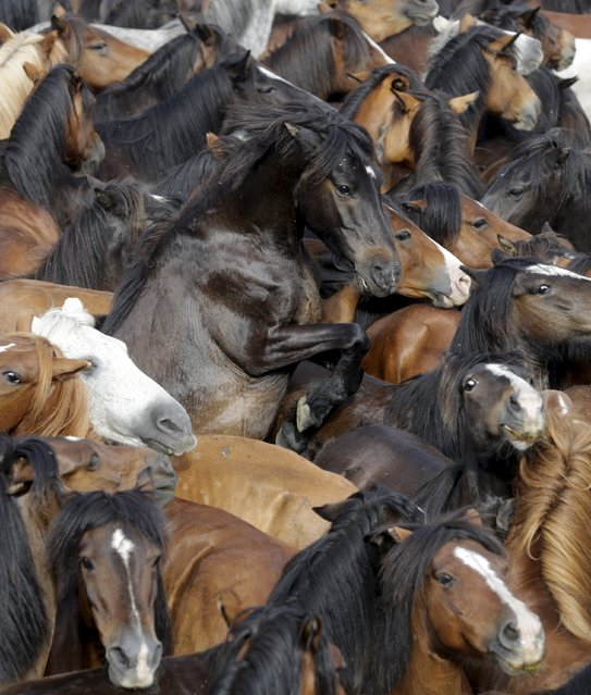 """Wild horses are seen gathered during the """"Rapa das Bestas"""" traditional event in the village of Sabucedo, northwestern Spain July 4, 2015. (Photo by Miguel Vidal/Reuters)"""
