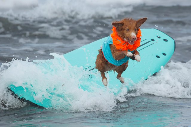 "A dog jumps off a surfboard while competing at the 14th annual Helen Woodward Animal Center ""Surf-A-Thon"" where more than 70 dogs competed in five different weight classes for ""Top Surf Dog 2019"" in Del Mar, California, U.S., September 8, 2019. (Photo by Mike Blake/Reuters)"