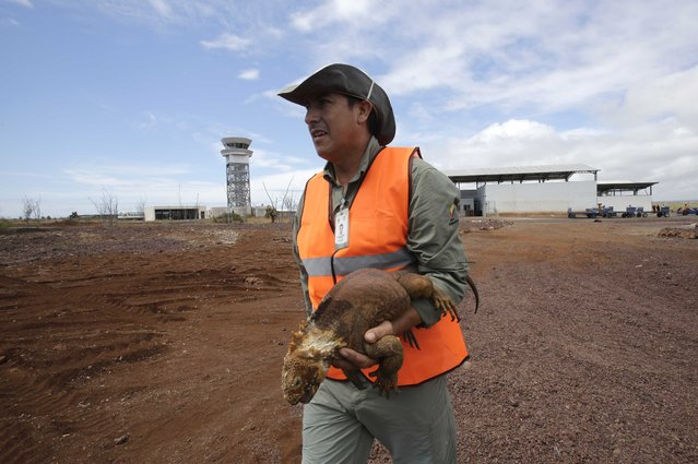A worker removes to a safer area an iguana, who meandered to close to the landing strip at the eco-friendly Seymour of Baltra Airport, Galapagos Islands, Ecuador, Wednesday, July 15, 2015. This airport has been declared by U.S Green Building Council as the world's first ecological airport, especially designed to optimize the island breeze and sunlight, as well as a water reuse system. (Photo by Dolores Ochoa/AP Photo)