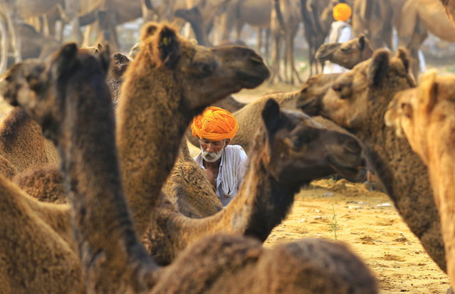 A Rajasthani camel vendor sits among camels during the Pushkar Fair 2019 in Pushkar, Rajasthan, India, 04 November 2019. Pushkar Cattle Fair is one of the world's largest cattle fairs, and the festival hosts around 50,000 camels which are sold, decorated, shaved and raced. (Photo by Vishal Bhatnagar/EPA/EFE)