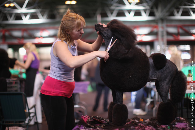 Linzi Johnson trims her Standard Poodle Pheope on Day one of Crufts at the Birmingham NEC Arena