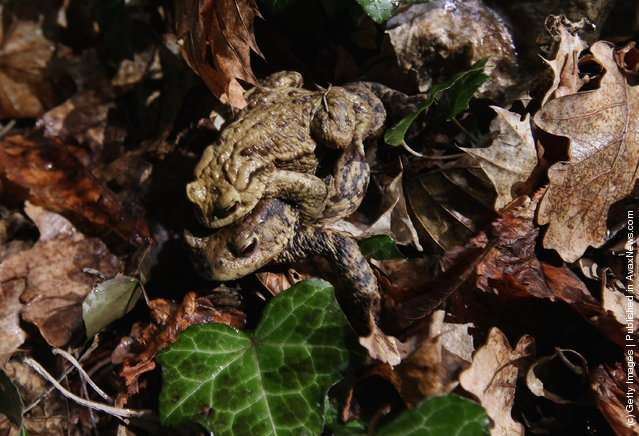 A male toad clings to the back of his female partner after volunteers deposited them on the other side of a road along the toads' migration route near Berlin