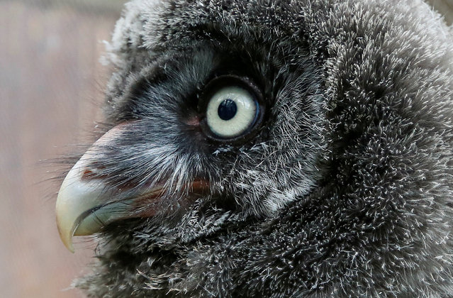 A 3-week-old Great Grey owl (or Lapland owl) sits inside its enclosure at the Royev Ruchey zoo on the suburbs of the Siberian city of Krasnoyarsk, Russia, June 7, 2016. (Photo by Ilya Naymushin/Reuters)