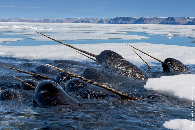 Narwhals dive deep under the ice to feed on Arctic cod, then return to the surface to breathe and raise their tusks high in the air