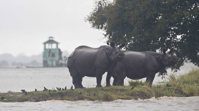 One horned Rhinos take shelter on higher ground of a flooded Kaziranga national park in Kaziranga, 250 kilometers (156 miles) east of Gauhati, India, Monday, July 10, 2017. (Photo by Anupam Nath/AP Photo)