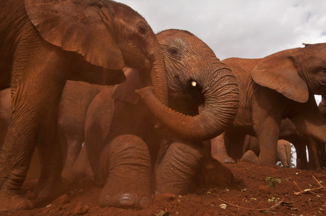 Two baby orphaned elephants touch trunks as they give themselves a dust-bath in the red earth after being fed milk from a bottle by a keeper, at an event to commemorate World Environment Day at the David Sheldrick Wildlife Trust Elephant Orphanage in Nairobi, Kenya Wednesday, June 5, 2013. (Photo by Ben Curtis/AP Photo)