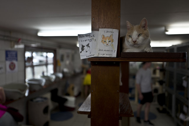 In this Saturday, July 22, 2017 photo, Samus, a ten-year-old cat rests on a shelf at the Catboat shelter in Amsterdam, Netherlands. (Photo by Muhammed Muheisen/AP Photo)