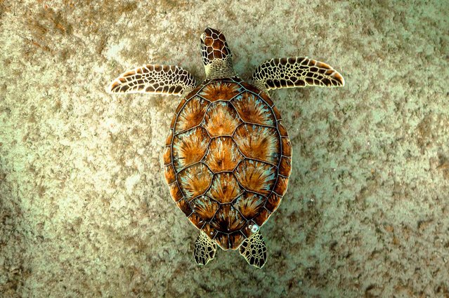 "Second Place, Oceans. ""Green Turtle At Singer Island"". (Photo by Paul Dabill/The Palm Beach Post)"