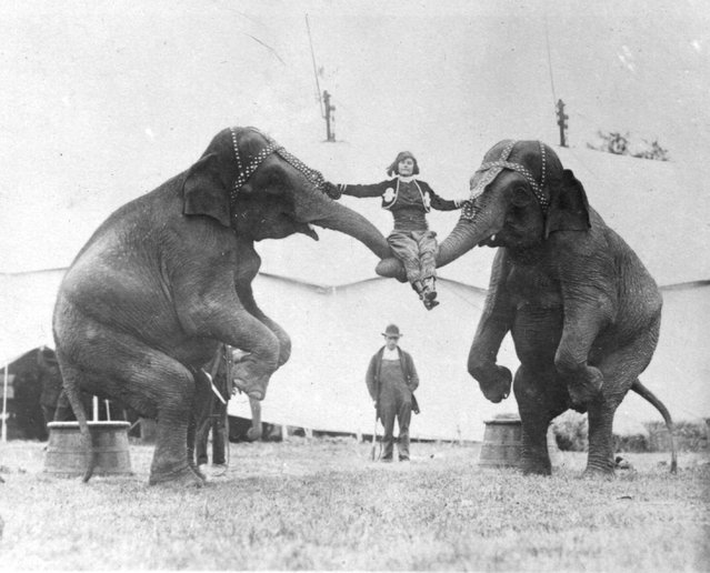 A  woman sitting on the trunks of two elephants, while rehearsing her circus act, circa 1924.
