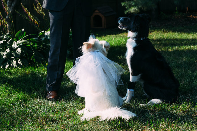 When wedding photographer Katie Yeaton saw that one of her dogs had white fur and the other had black-and-white fur, she did what only a wedding photographer could do: she threw them a backyard wedding complete with professional photography to remember the day. (Photo by Katie Yeaton)
