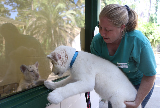 Stephanie Willard-Sinnett holds Husani, a rare white lion cub up to meet a visiting white tiger cub on Friday, September 5, 2014, at ZooWorld in Panama City Beach, Fla. Husani is the newest addition to the pride of lions at Zoo world. (Photo by Patti Blake/AP Photo/ The News Herald)