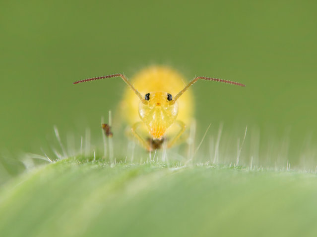 """Shortlisted: """"Springtail"""" by Marc Brouwer (Genemuiden, the Netherlands). """"Only one to two millimetres in size, this springtail was found in a field sitting on grass. Looking for a springtail is like looking for a needle in a haystack. Many people will have never seen a springtail before or even know that they exist"""". (Photo by Marc Brouwer/2017 Royal Society of Biology Photographer of the Year)"""
