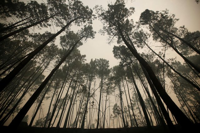 Pine trees are seen after a forest fire near Sao Pedro do Sul, Portugal August 14, 2016. (Photo by Rafael Marchante/Reuters)