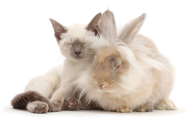 """These """"snapcats"""" have found their bunny doppelgängers in a series of sweet photo shoots. Animal photographer Mark Taylor, from Surrey, England, and his assistants have scoured the U.K. to bring together carbon-copy rabbits and cats. Sharing details such as fur and eye color, seating positions, startled expressions, and even matching markings on their noses, the cute animals look as if they came from the same litter. Some of them also appear to be the best of friends, with the pairs cuddling up to and even lying on top of each other. Here: Blue-point Birman-cross kitten dozing with fluffy bunny. (Photo by Mark Taylor/Warren Photographic/Caters News Agency)"""