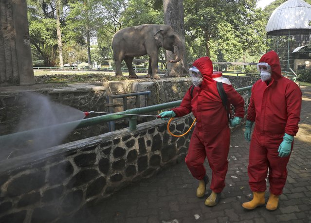 Indonesian firefighters spray disinfectant at the public area near an elephant enclosure at Ragunan Zoo prior to its reopening this weekend after weeks of closure due to the large-scale restrictions imposed to help curb the new coronavirus outbreak, in Jakarta, Indonesia, Wednesday, June 17, 2020. As Indonesia's overall virus caseload continues to rise, the capital city has moved to restore normalcy by lifting some restrictions, saying that the spread of the virus in the city of 11 million has slowed after peaking in mid-April. (Photo by Dita Alangkara/AP Photo)