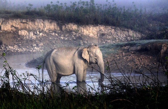 A wild Asiatic elephant basks the winter morning sun on the opening day of the tourist season in the Kaziranga National Park, about 250km from Guwahati city, India, 1 November 2012. The park was reopened for tourists on 01 November after two floods. (Photo by EPA/STR)