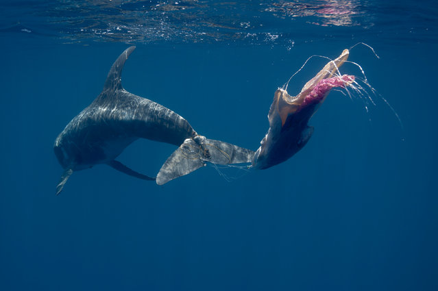 """A Risso's dolphin caught up in fishing line. Dolphin numbers in the Indian Ocean may have dropped by more than 80% in recent decades, with an estimated 4 million small cetaceans caught as """"by-catch"""" in commercial tuna fishing nets since 1950, according to a study. (Photo by Andrew Sutton/Central Studio)"""