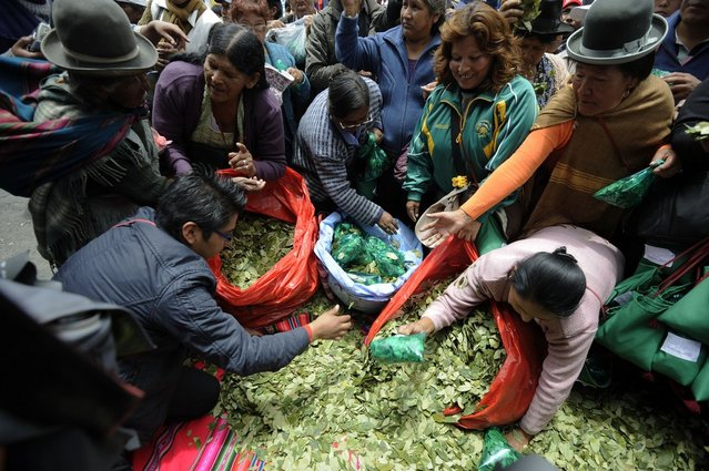 """Coca growers fill bags with coca leaves during a celebration for the reincorporation of Bolivia to the UN Convention Against Illicit Traffic in Narcotic Drugs in La Paz on January 14, 2013. """"The coca leaf is not any more seen as cocaine (..), it is a victory of our identity"""" said Bolivian President Evo Morales. AFP PHOTO/Jorge Bernal        (Photo credit should read JORGE BERNAL/AFP/Getty Images)"""