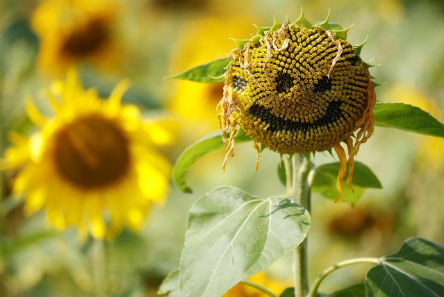 A smiley face is seen carved into the head of a sunflower in a field in Dunham Massey, Britain, August 13, 2020. (Photo by Phil Noble/Reuters)
