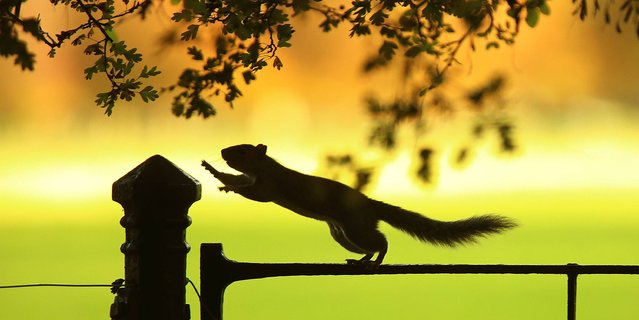 A squirrel forages for food in Phoenix Park, Dublin, on October 23, 2014. (Photo by Niall Carson/PA Wire)