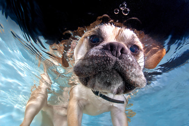 A Labrador pup pops his head underwater. (Photo by Jonny Simpson-Lee/Caters News Agency)