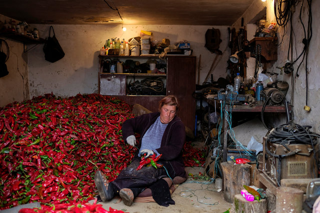 A woman prepares bunches of paprika to dry in the village of Donja Lakosnica, Serbia October 7, 2016. (Photo by Marko Djurica/Reuters)